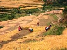 RiceHarvest